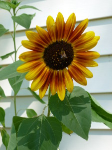 Shannon's sunflower